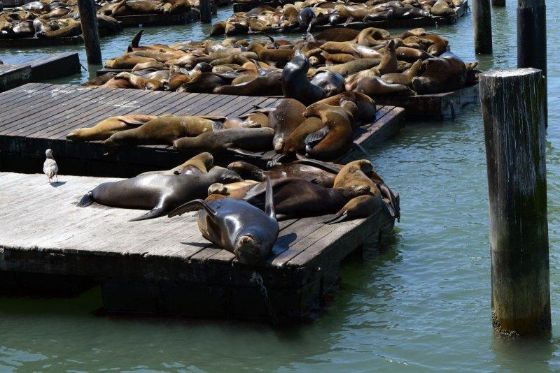 De Zeeleeuwen bij Fisherman's Wharf