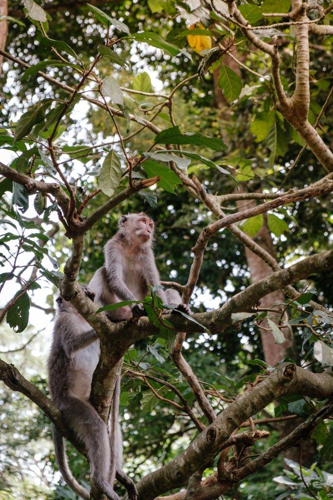 Bali monkey forest - apen