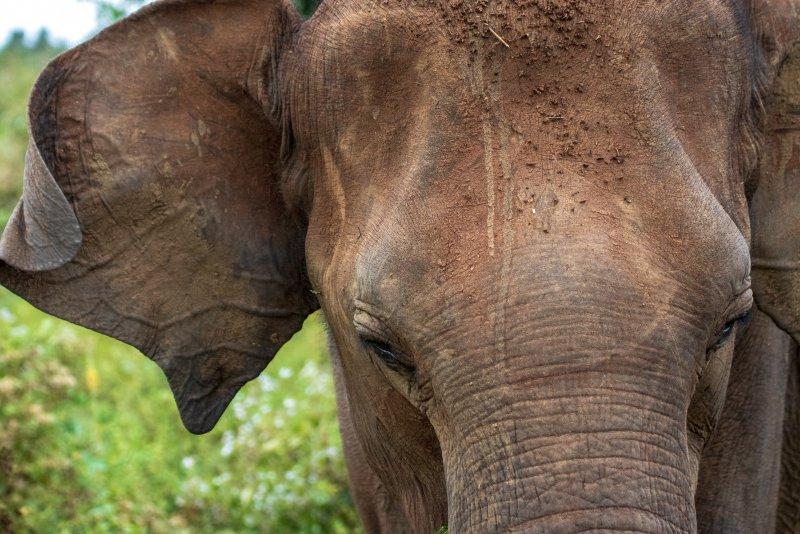 Olifanten zien in Sri Lanka (olifanten weeshuizen, nationale parken en festivals)