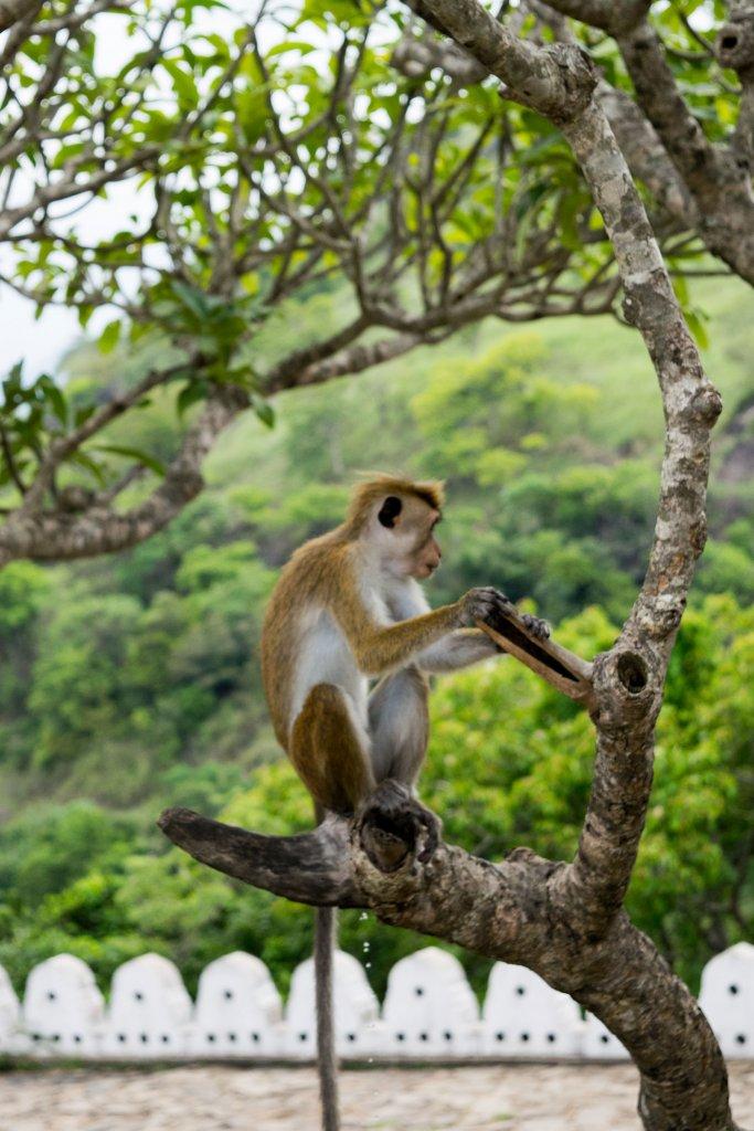 Apen in Sri Lanka