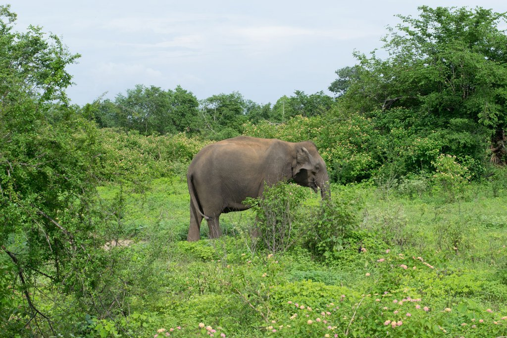 Olifanten spotten tijdens je reisroute voor Sri Lanka