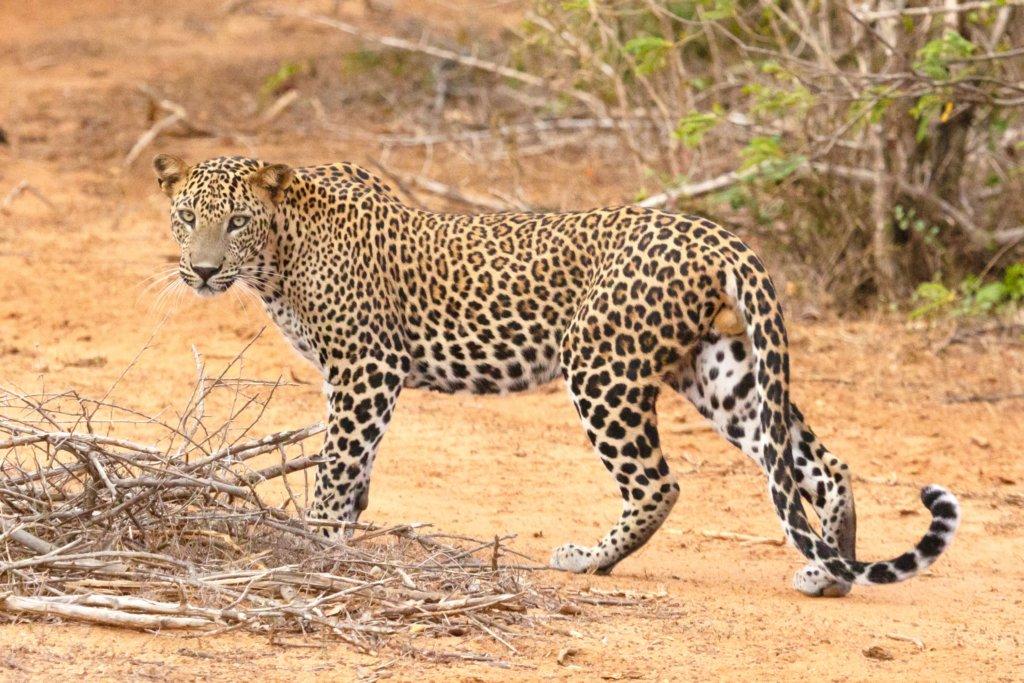 luipaard In Sri Lanka