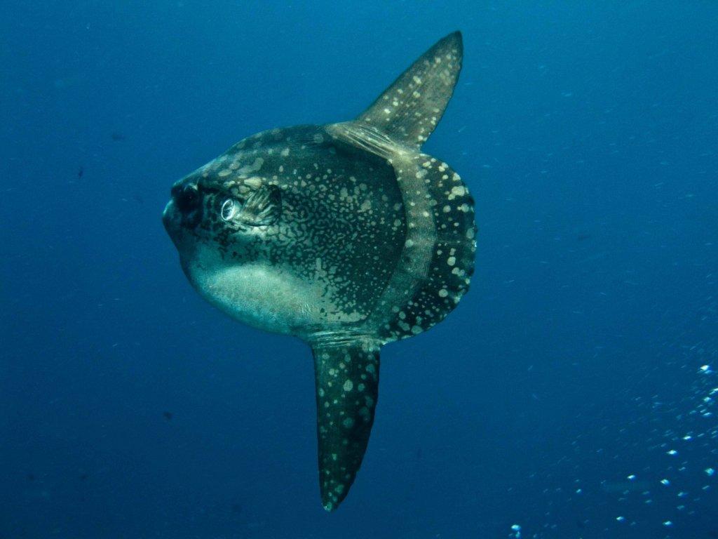 mola-mola tijdens snorkelen Nusa Lembongan