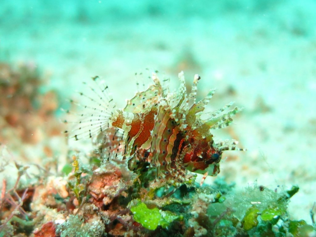 Lionfish - snorkelen in Thailand